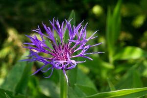 <i>Centaurea montana</I>